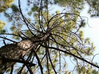עד צמרות העצים