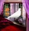 יונה לבנה בחלון
