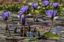 פרחים על מים