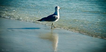 שחף על החוף