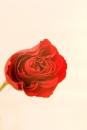 ורד 3