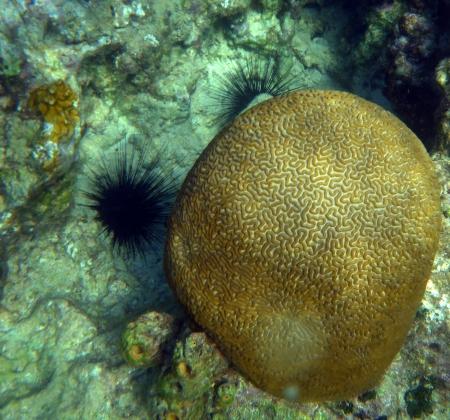 אלמוג מוח או מוח אלמוגי?