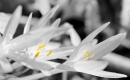 סיתוונית בשחור לבן וצבע