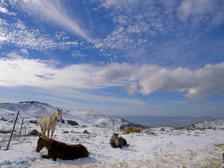 סוסי שלג