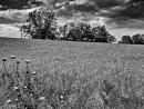 שדות דגן לנצח