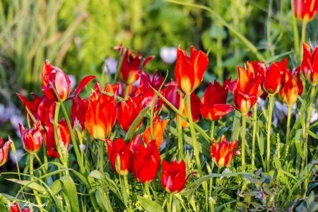 אדום של אביב