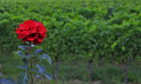 פרח אדום