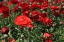 אביב אדום 3