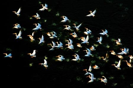שקנאים pelicans