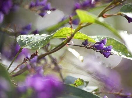 מטפס סגול וטיפות גשם