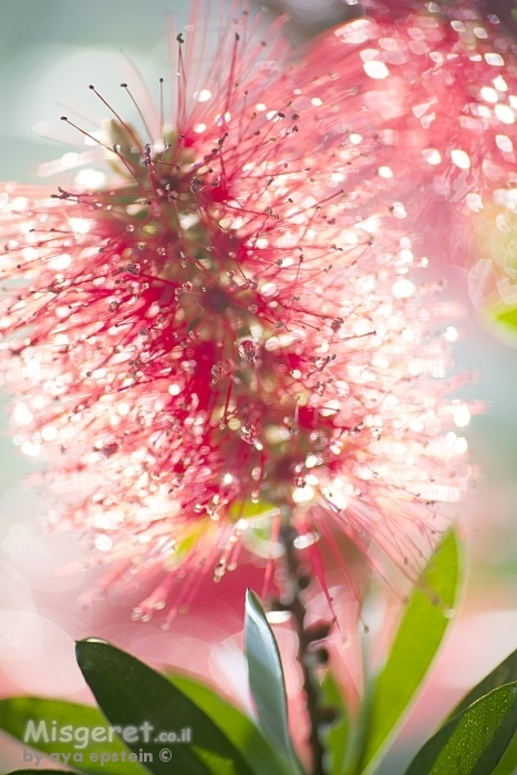 פרח אור