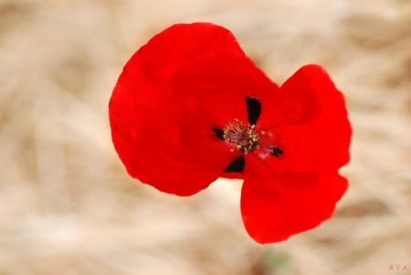 פרח הפרג
