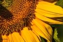 הדבורה והחמניה