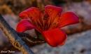הפרח האדום