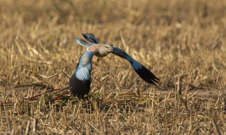 מעוף הכחל