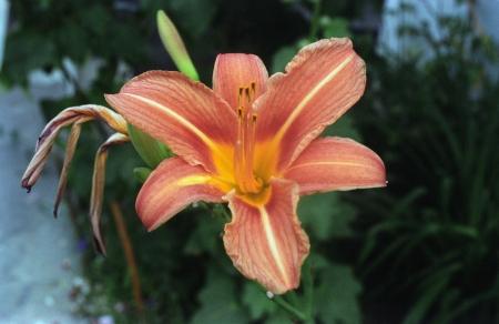 פרח 1