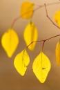 צהוב עדין