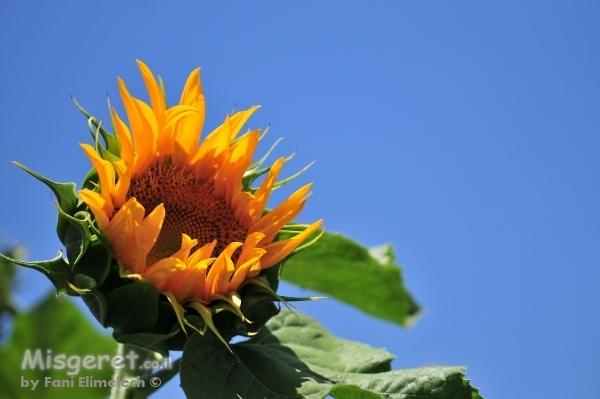 חמניות פרח השמש 1