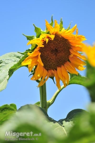 חמניות פרח השמש 2
