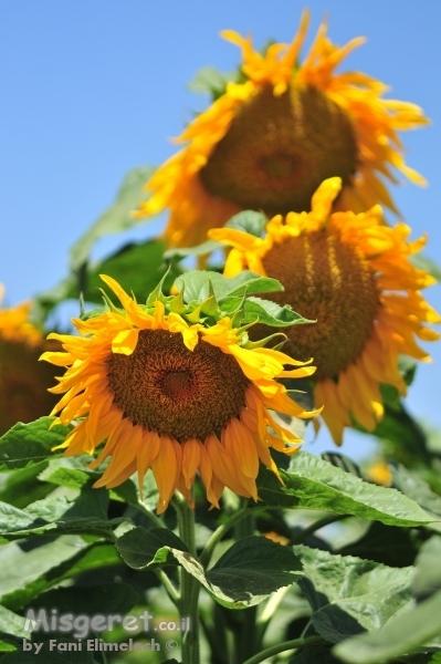 חמניות פרח השמש 3