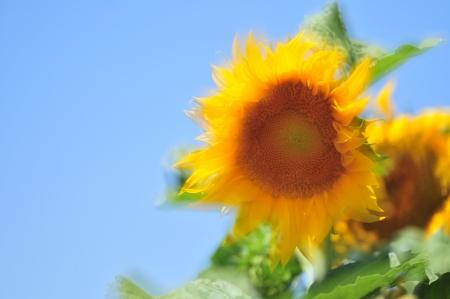 חמניות השמש