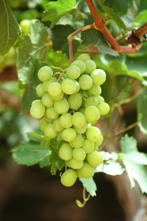 אשכול ענבים בכרם1