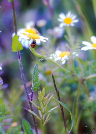 הפריחה בגולן