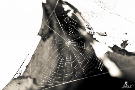כורי עכביש