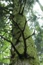 קרניים של עץ