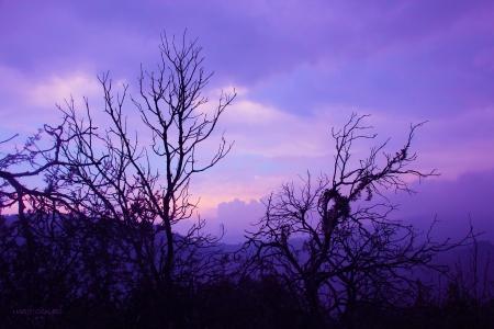 יער סגול