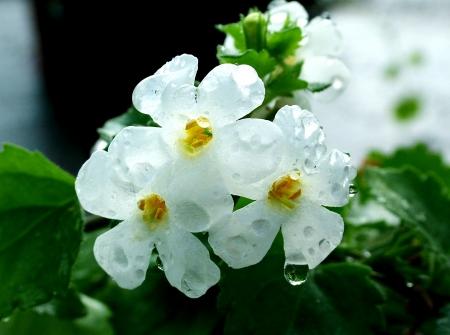 פרחים עם טל