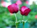 2 פרחים בבורדו