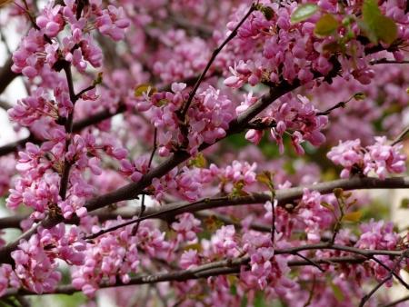 עץ בפריחה וורודה