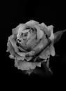 flower bw 5