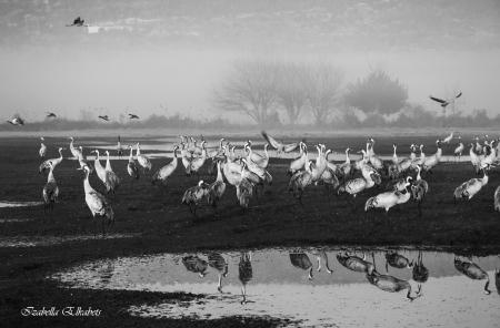 עגורים בשחור לבן