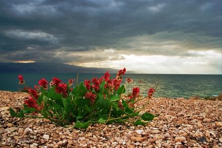 פריחה בים המלח