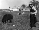 שרון 1935 - רועה עם כבשים