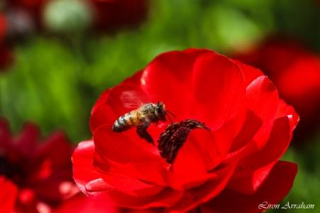 נורית אדומה ודבורת דבש