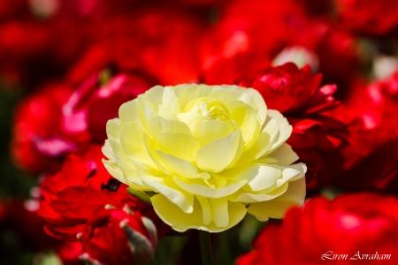 נורית צהובה על רקע אדום