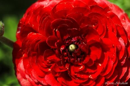 נורית אדומה - MACRO HDR