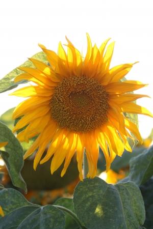 פרח שמש