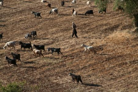 רועה את עדרו