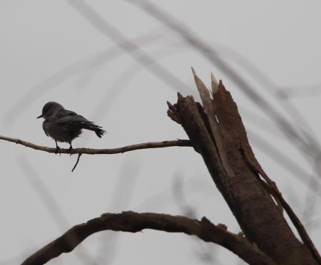 ציפור חורפית