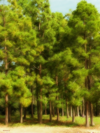 עצי מחט