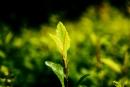 פריחה ירוקה