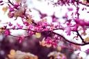 שקדיה בפריחה