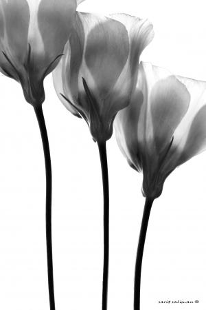 שלישיה שחור לבן