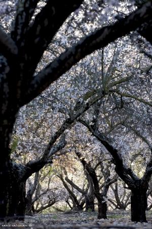 יער השקדיות
