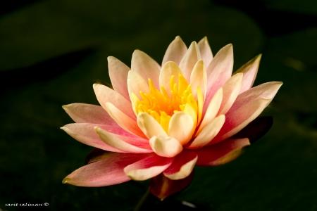 פרח המים