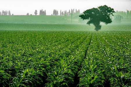 עץ בשדה תירס